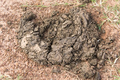 Cow dung. Dried cow dung on ground Royalty Free Stock Photos