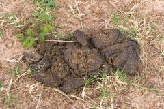 Cow dung Stock Photos