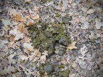 Cow dung, dry cow patty on forest floor with leaves, in fall in Oquirrh Mountains on the Wasatch Front in Salt Lake County Utah US Stock Image