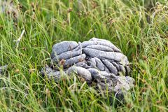 Cow dung in the grass. In the park in nature Royalty Free Stock Images