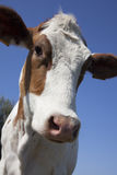 Cow. Dutch cow with blue sky Stock Photography