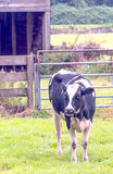 Cow on the Dutch fields Royalty Free Stock Images