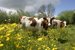 Cow in dutch landscape 1. Cow in dutch landscape standing in flowers Royalty Free Stock Photography