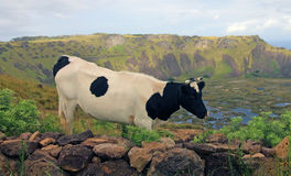 Cow In Easter Island. A cow is standing on the edge of Rano Kau, the Volcanic crater lake in Easter Island Royalty Free Stock Image