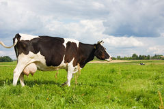 Cow eat grass Royalty Free Stock Image