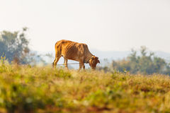 Cow eat grass in the field Royalty Free Stock Images