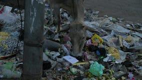 Cow eat Rubbish. India. Poor village. stock video