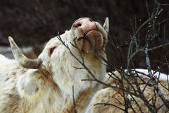 Cow eat tree branch Royalty Free Stock Image