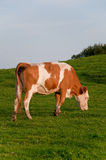 Cow eating. Brown and white cow on a green grassy hill eating grass Royalty Free Stock Images