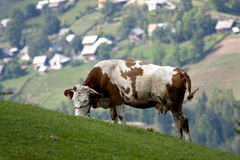 Cow eating Royalty Free Stock Image
