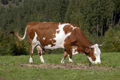 Cow eating Royalty Free Stock Photos