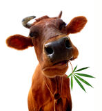 Cow eating. Cow on a white background eating leaves. It is isolated
