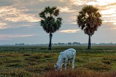 Cow eating at Anlung Pring Protected Landscape Royalty Free Stock Photography