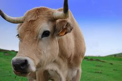 Cow eating in Asturias. A nice cow grazing near the lake of Covadonga (Asturias Stock Images