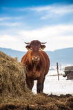 Cow. Eating cow in bio farm Stock Image