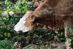 Cow eating bracken. Portrait of a cow eating bracken in the woods stock photography