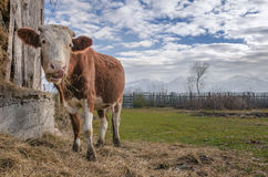 Cow eating hay Stock Images