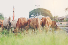 Cow eating. Cows eating a grass beside a train station Stock Photography