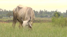 Cow eating in farm stock video