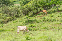 Cow eating in the field Royalty Free Stock Photos