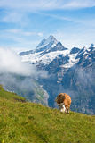 Cow eating flowers in the meadow in the Swiss Alps, Europe. Royalty Free Stock Image