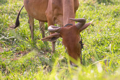 Cow eating fresh grass in grass field in morning. organic cattle Stock Images