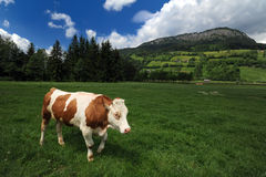 Cow eating grass Royalty Free Stock Photography