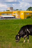 Cow eating grass. On the farm background Stock Photo
