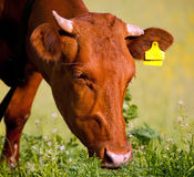 Cow eating grass Stock Photo