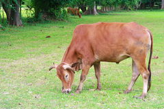 Cow is eating grass Stock Images