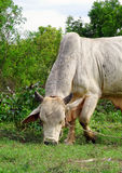 Cow eating grass Stock Images
