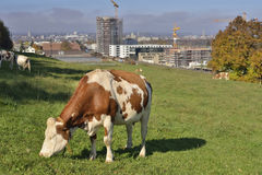 Cow eating grass with Bern city in background. Stock Photos