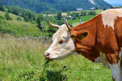 Cow eating grass Royalty Free Stock Photo