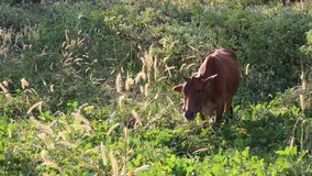 Cow eating grass at Don Duong district, Lam Dong province, Vietnam stock video footage