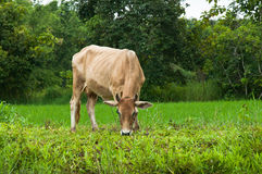 Cow eating grass. In farm Royalty Free Stock Photos