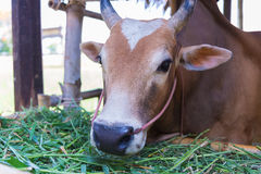 Cow eating grass in farm. Royalty Free Stock Photography