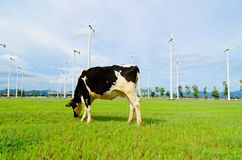 Cow eating grass in the farm with windmill Stock Images