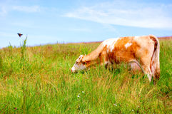 Cow in a Field Stock Photos