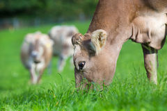 Cow eating grass Stock Photography