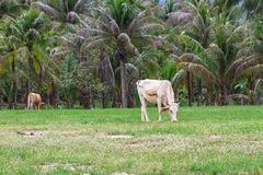Cow eating grass at the field Royalty Free Stock Photography