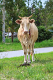 Cow eating grass at the field Royalty Free Stock Images