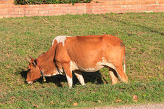 Cow eating grass at the field Stock Images
