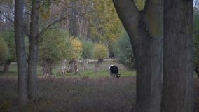 Cow eating grass in the forest stock video footage