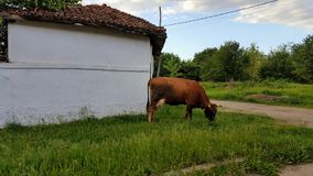 Cow. A cow eating grass from the frontyard Stock Image