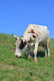 Cow eating grass Stock Image
