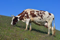 Cow eating grass Royalty Free Stock Images