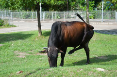 The cow is eating grass on a ground Royalty Free Stock Image