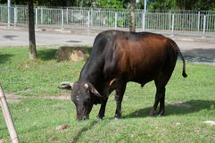 The cow is eating grass on a ground Stock Photography