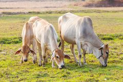 Cow eating grass on meadow Royalty Free Stock Photo