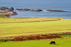 Cow eating grass in the meadow under blue sky. By an Irish coast. This photo truly expresses the totally unspoilt landscape and nature of Norhern Ireland royalty free stock photography